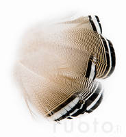 Barred Wood Duck Feathers -  - 053526035018 - 2